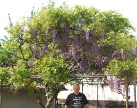 Virágzó lilaakác Körösszegapátiban